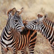 Zebras #01 - Kenya
