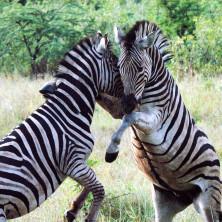 Zebras #02 - South Africa