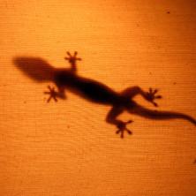 Gecko - Kenya