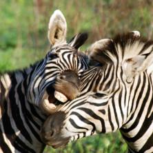 Zebras #03 - South Africa