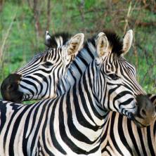 Zebras #04 - South Africa