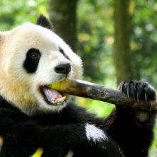 """Panda #01"" - Sichuan - 2014"