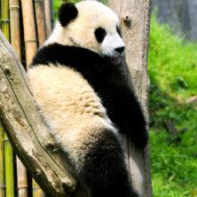 """Panda #02"" - Sichuan - 2014"