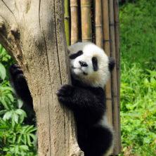 """Panda #03"" - Sichuan - 2014"
