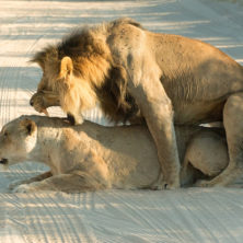 Lions -Namibia