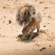 Squirrel #02 - Namibia