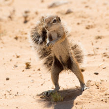 Squirrel #01 - Namibia