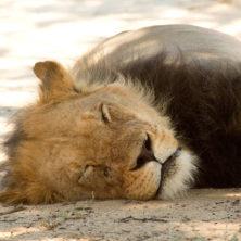 Lion #04 -Namibia