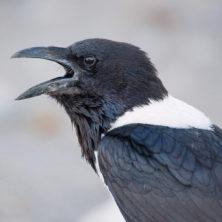 Crow - Namibia